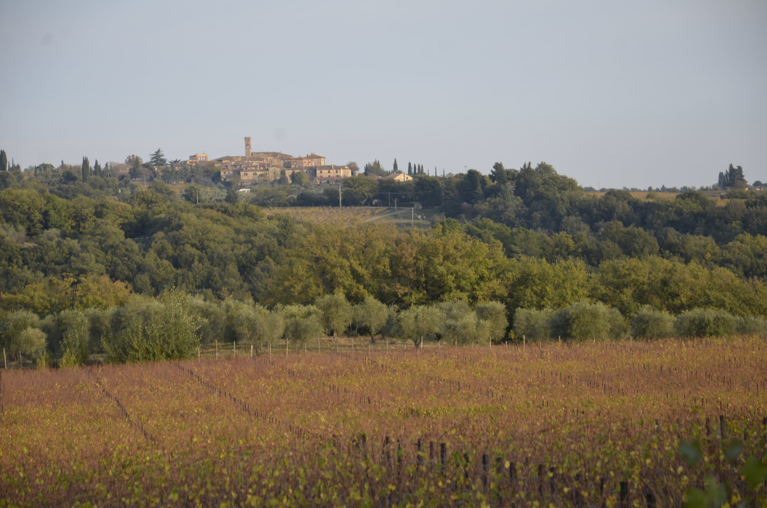 grapevines in the foreground and olive trees behind