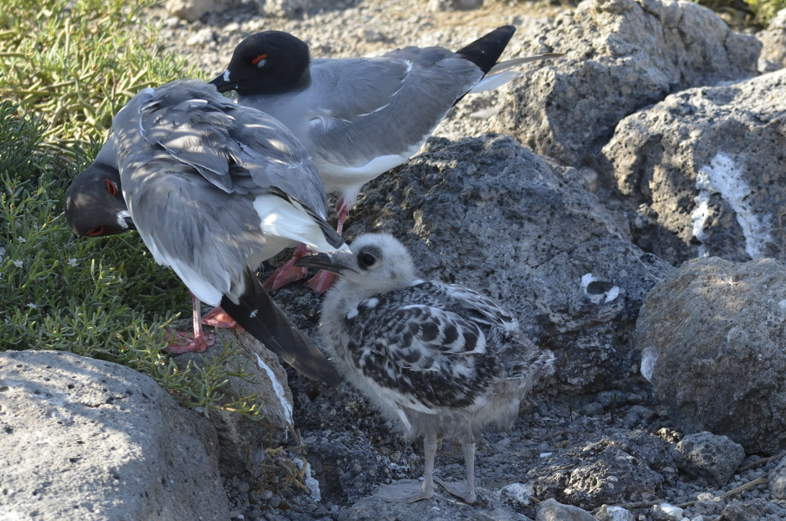 This was the gull family the heron stalked up to.