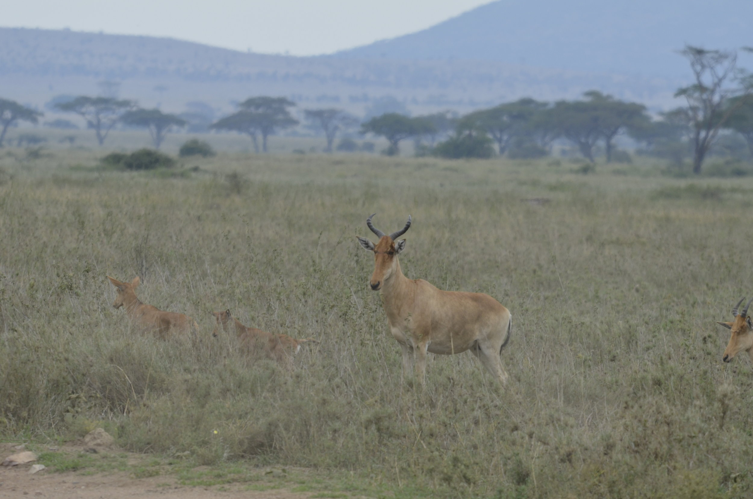 Coke's Hartebeest (Kongoni) - native to Kenya and Tanzania
