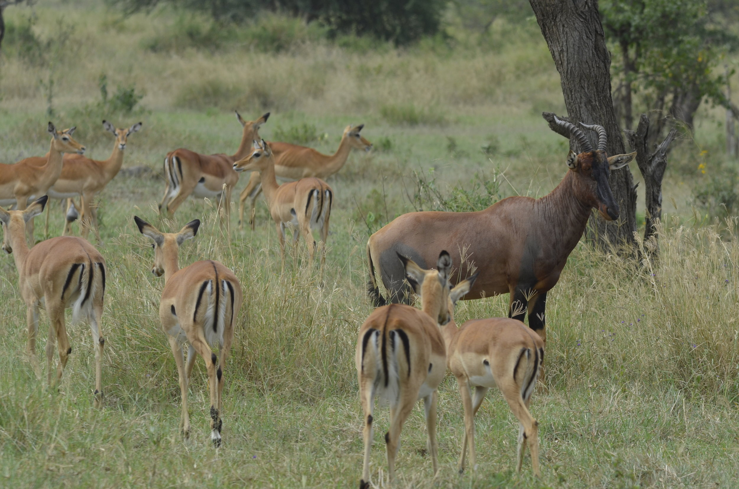 Topi with female Impalas