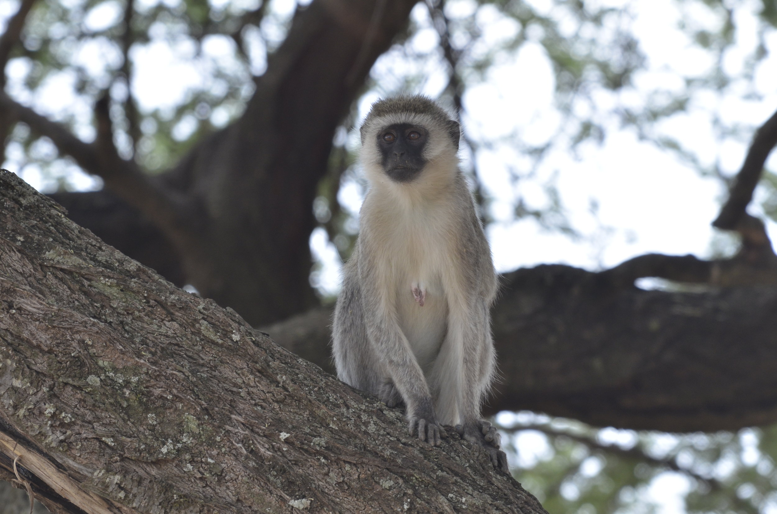 _DSC4854 Vervet (black-faced) Monkey.JPG