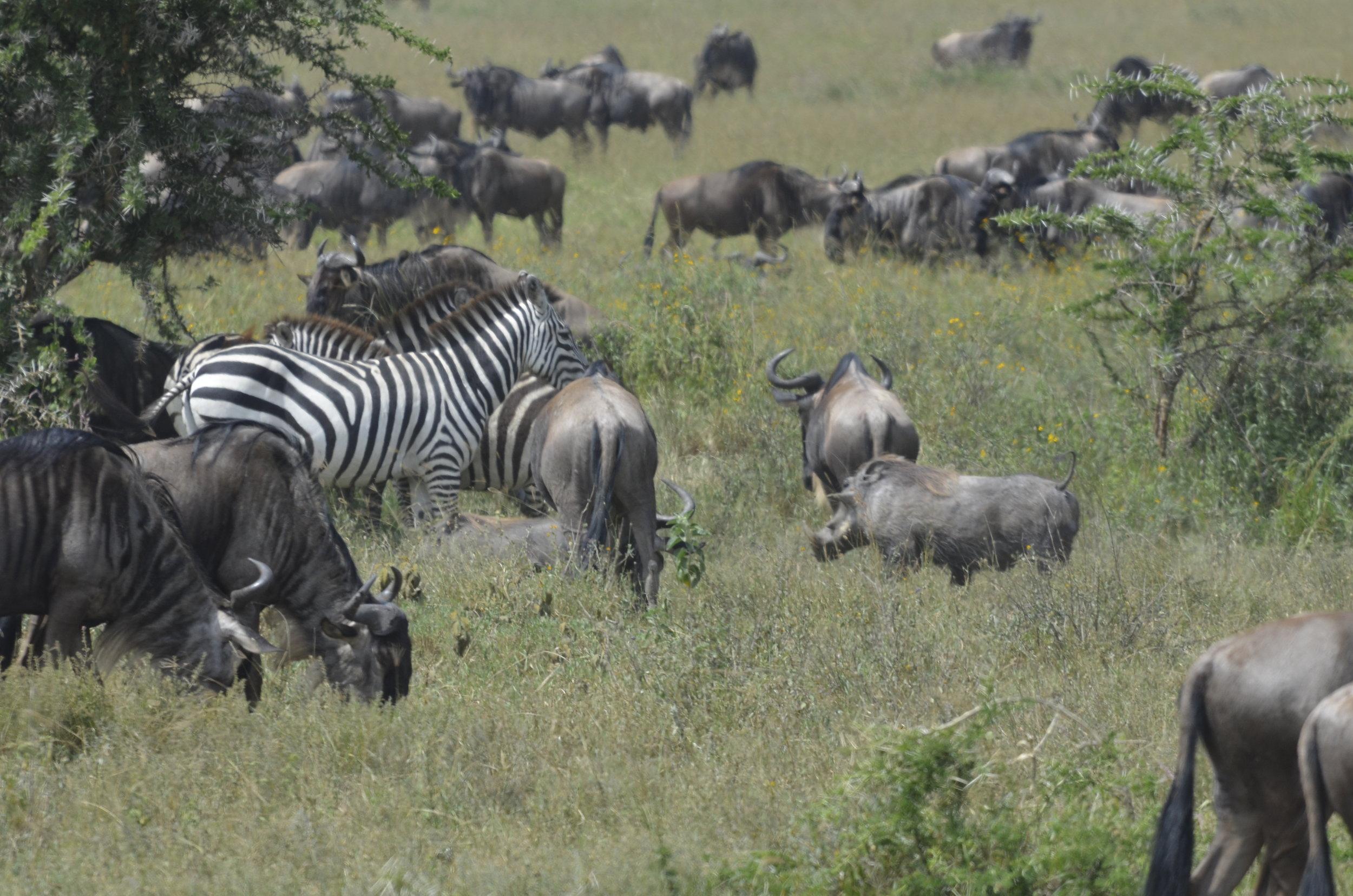 warthog, wildebeest and zebra