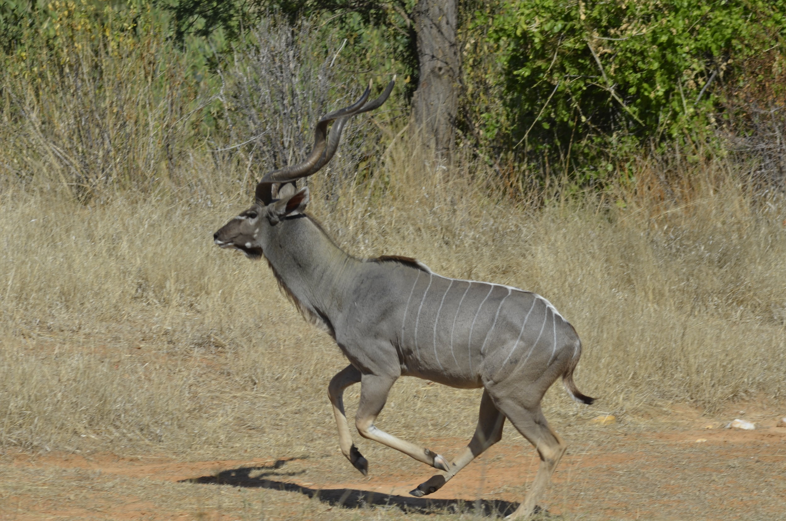 _DSC5317 Greater Kudu.JPG