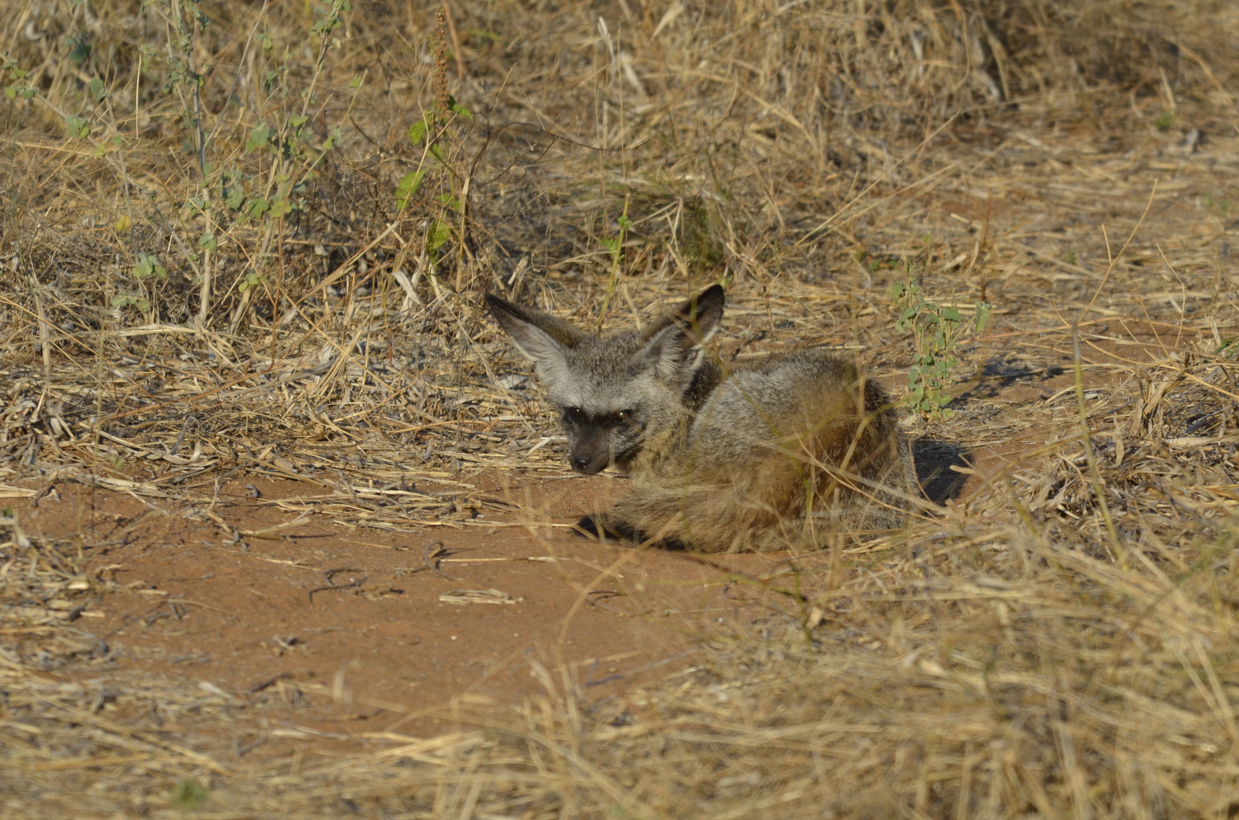 _DSC6606 Bat-eared Fox.JPG