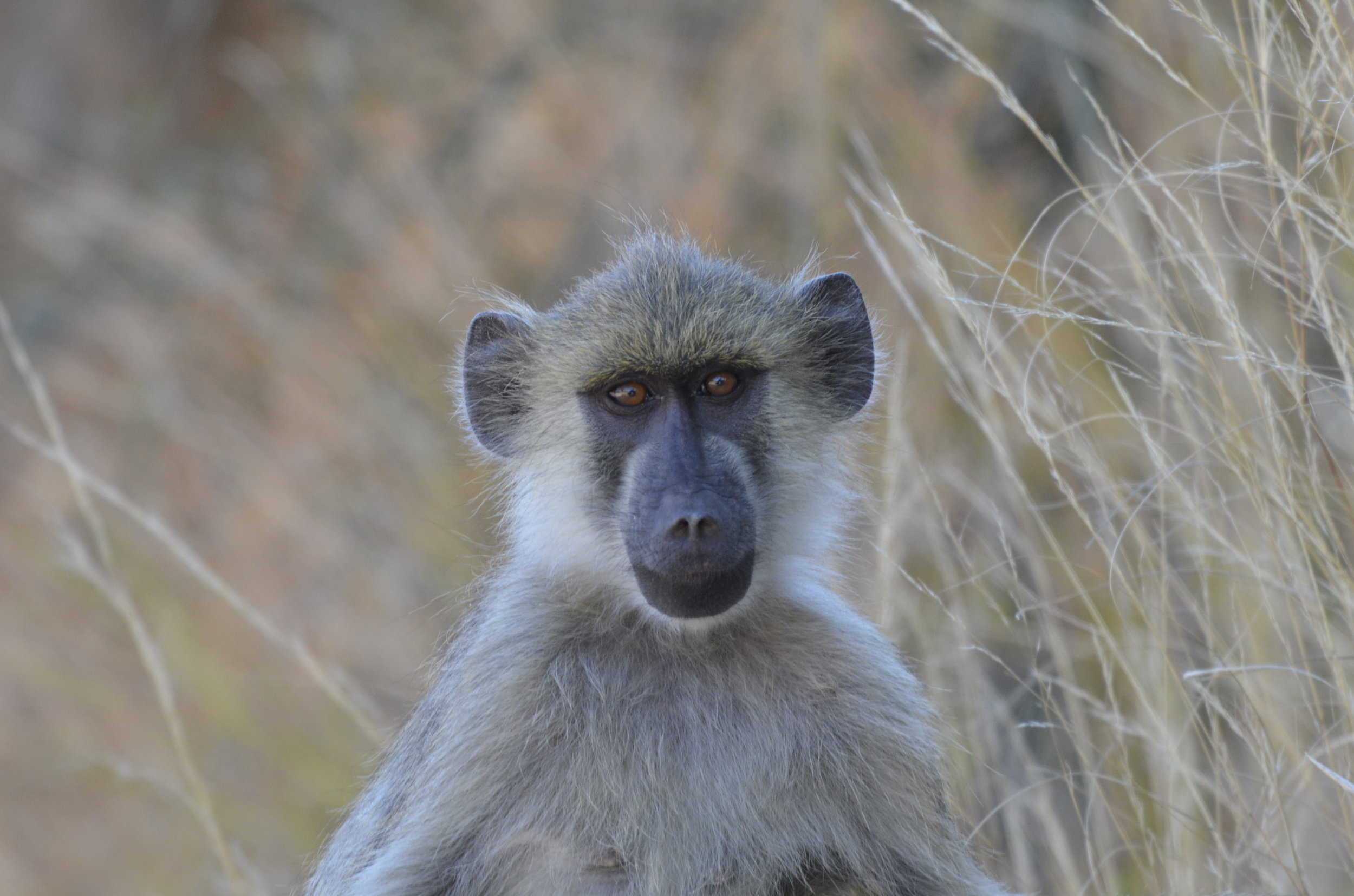 _DSC6268 Yellow Baboon.JPG