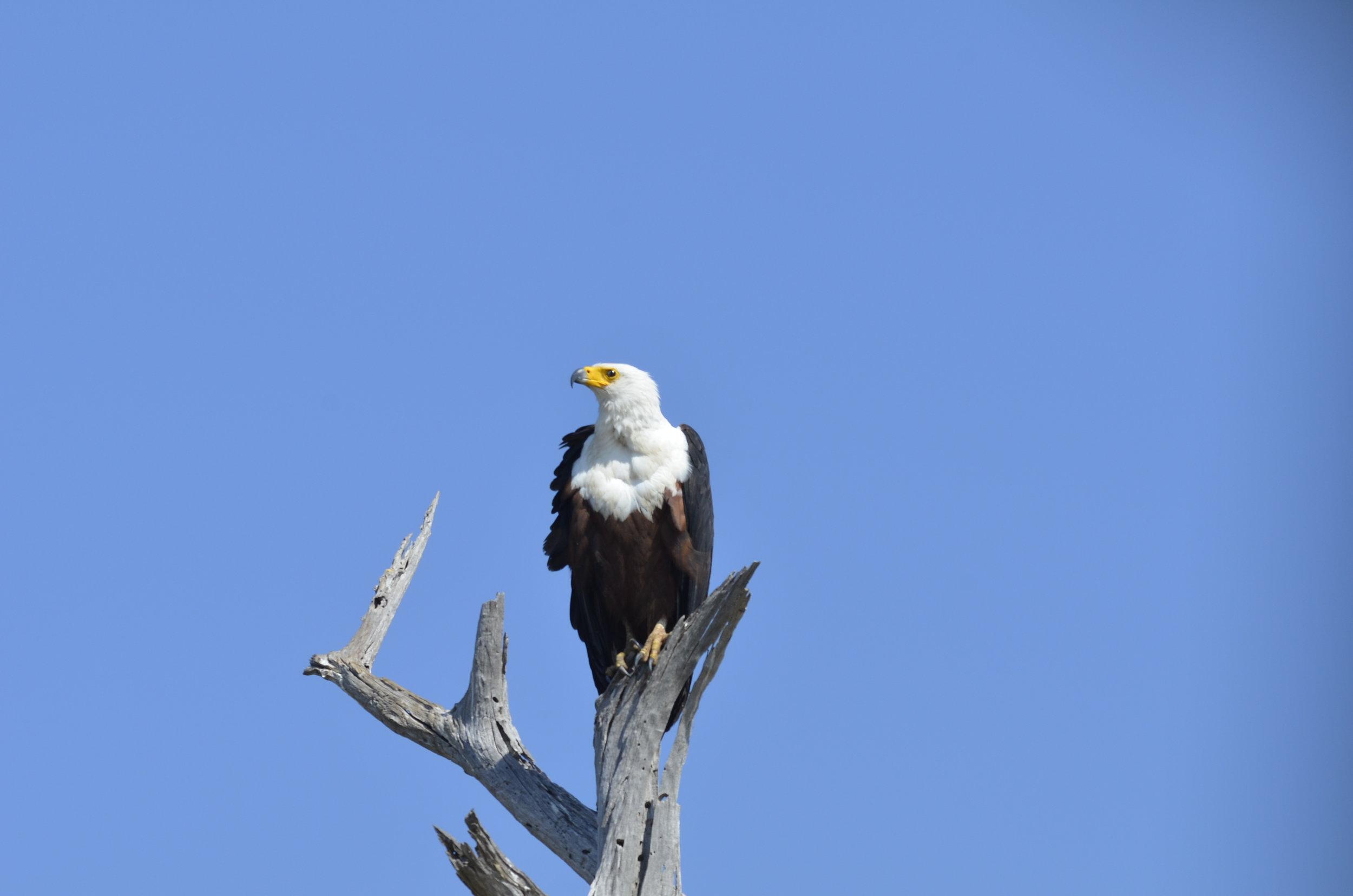 _DSC6766 African Fish Eagle.JPG