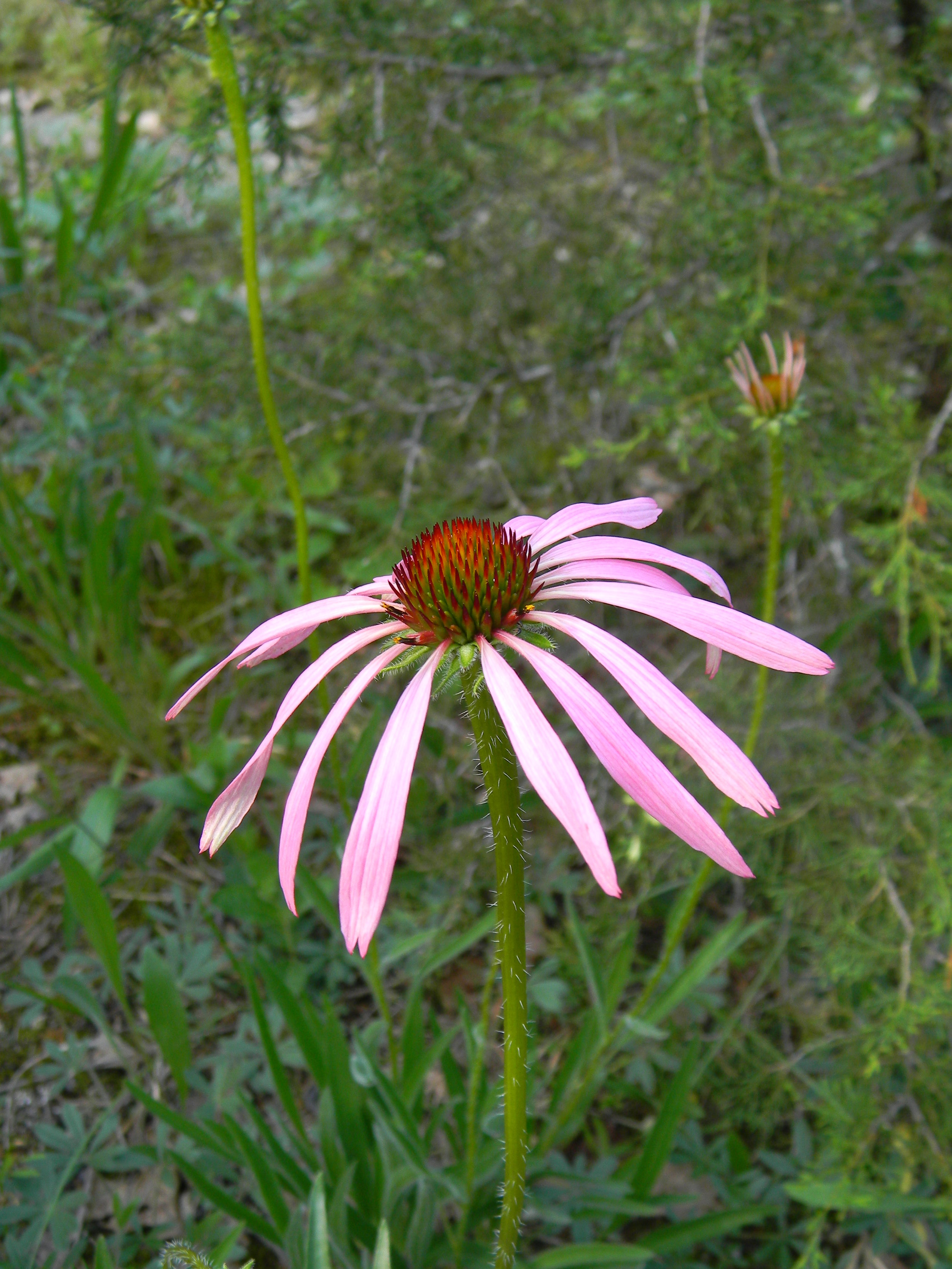 Wavy-leaved Purple Coneflower (Echinacea simulata) is a species that prefers glade margins and deeper soiled areas. Photo credit: Dwayne Estes.