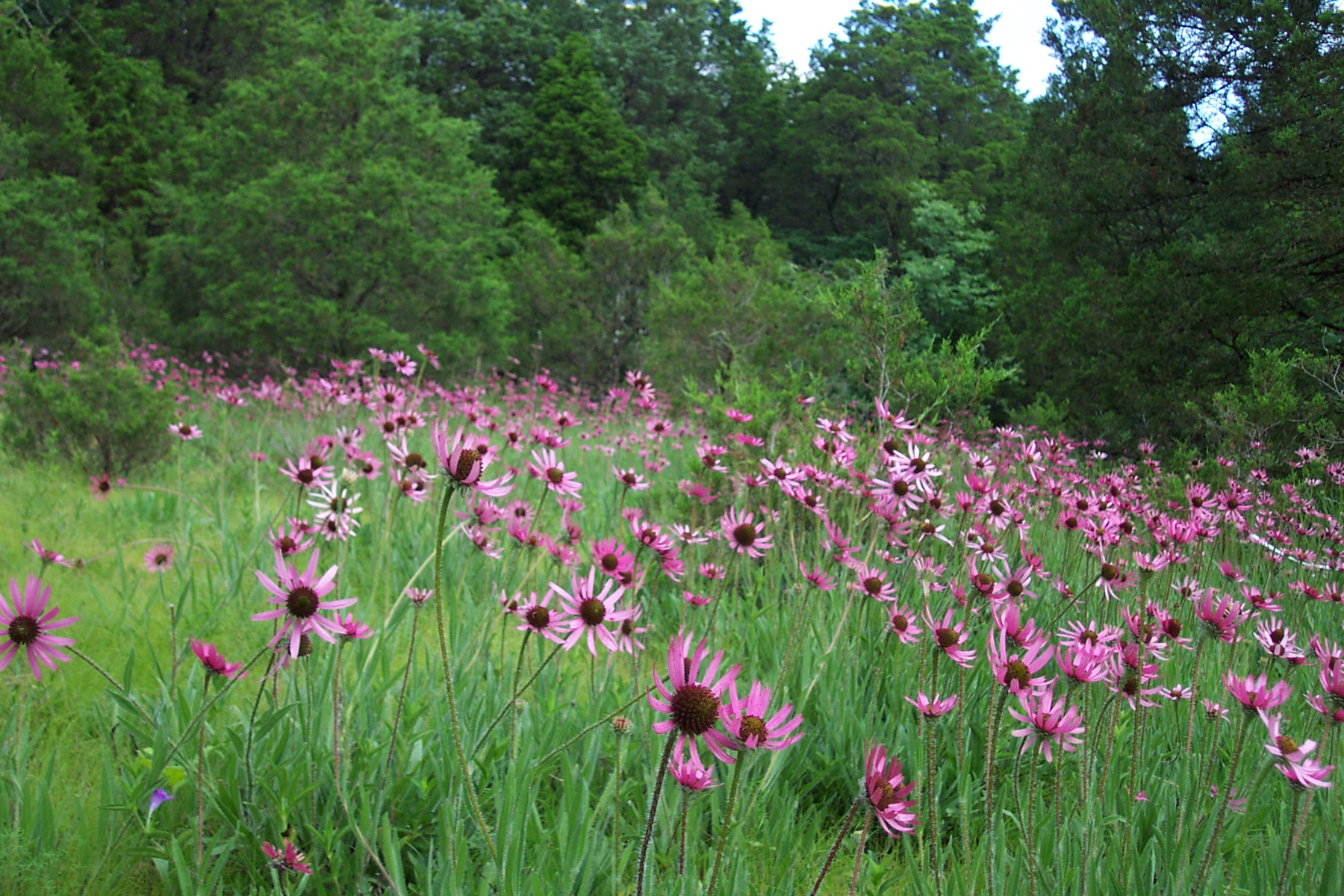 Tennessee Coneflower (Echinacea tennesseensis), like most other species of coneflowers, prefers deeper soils than most of the open glades afford. The presence of this narrowly endemic species in the Nashville Basin suggests a long history of the presence of open savannas.