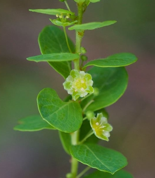 Maidenbush ( Phyllanthopsis phyllanthoides) grows in limestone riverscour habitats in central TN. Photo credit: Ketona Dolomite Barrens, Bibb Co., AL by Eric Hunt.