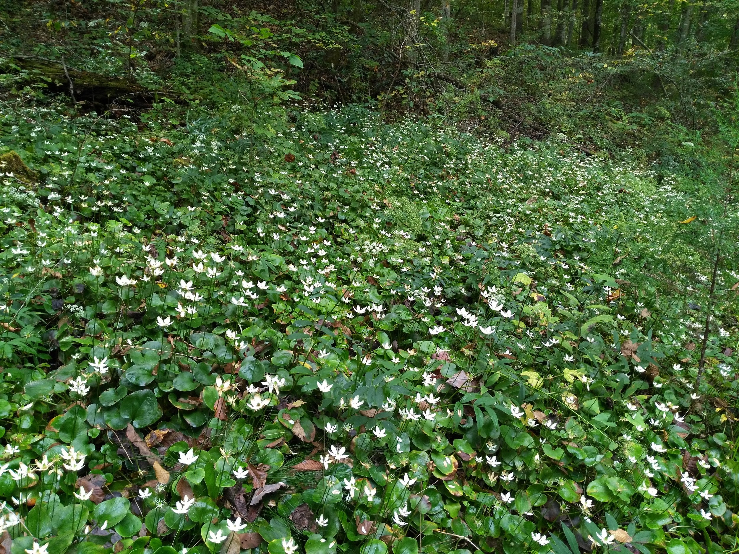 Large-leaved Grass of Parnassus (Parnassia grandifolia) dominates some dolomite seeps. This is one of several rare species tracked by the Tennessee Division of Natural Areas. Credit: Aaron Floden.