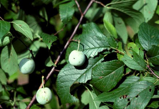 Prunus americana (American Plum)