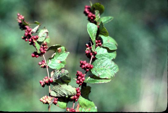 Symphoricarpos orbiculatus (Coralberry)