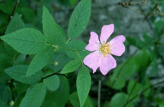 Rosa setigera (Prairie Rose)