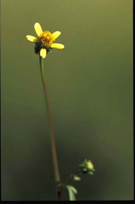 Bidens bipinnata (Spanish Needles)