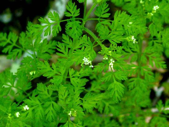 Chaerophyllum tainturieri (Hairyfruit Chervil)