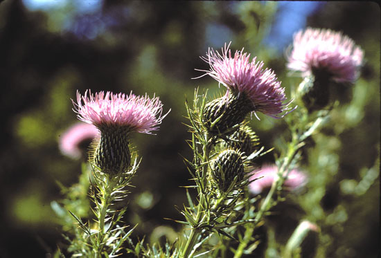 Cirsium discolor (Field Thistle)