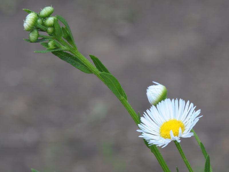 Erigeron strigosus (Prairie Fleabane)