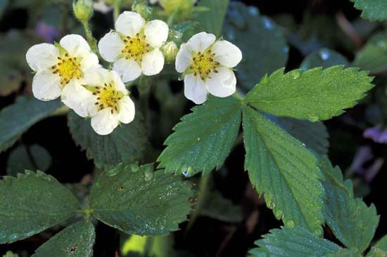 Fragaria virginiana (Wild Strawberry)