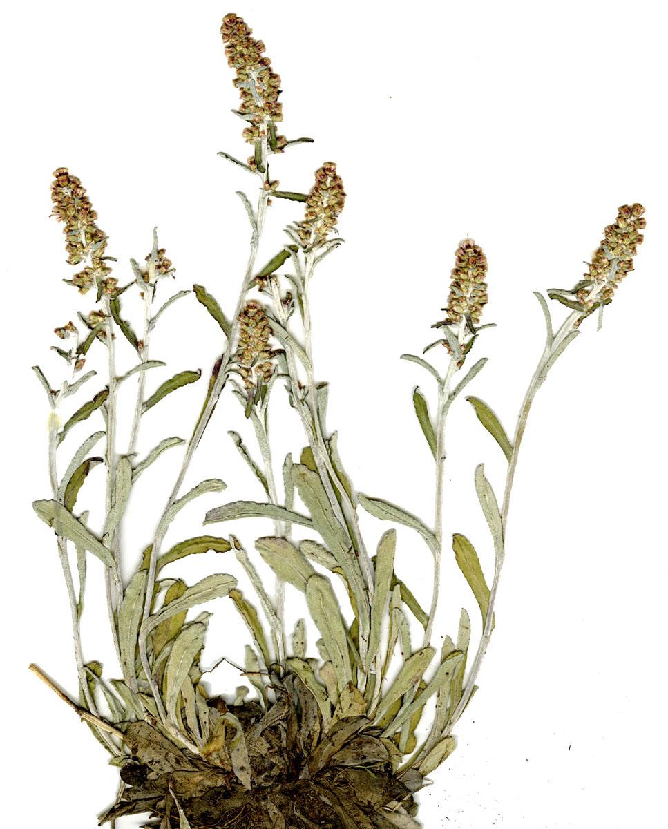 Gamochaeta argyrinea (Silvery Cudweed)