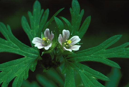 Geranium carolinianum (Carolina Geranium)