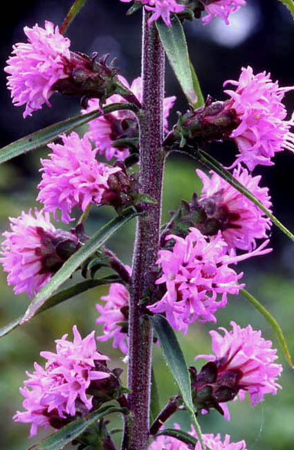 Liatris squarrulosa (Appalachian Blazingstar)