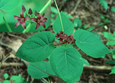 Matelea caroliniensis (Carolina Milkvine)