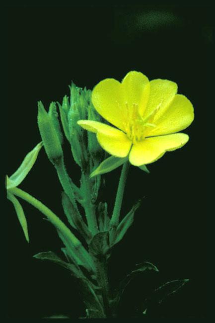 Oenothera biennis (Common Evening Primrose)