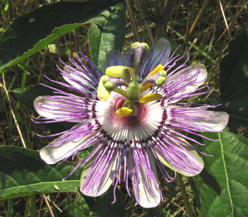 Parnassia incarnata (Passionflower)
