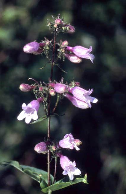 Penstemon calycosus (Longsepal Beardtongue)