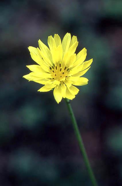 Pyrrhopappus carolinianus (Carolina False Dandelion)