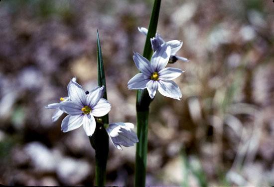 Sisyrinchium albidum (White Blue-Eyed Grass)