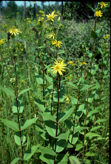 Silphium glabrum (Smooth Rosinweed)