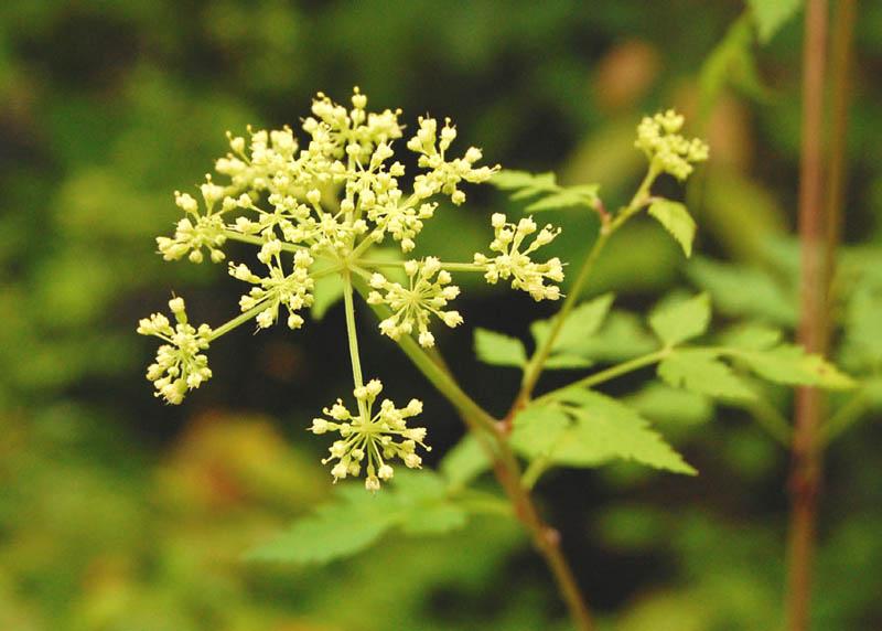 Thaspium chapmanii (Chapman's Meadow-Parsnip)