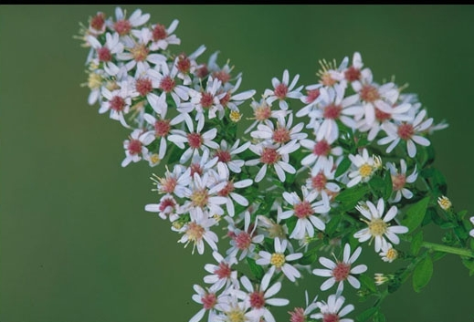 Symphyotrichum lateriflorum (Calico Aster)
