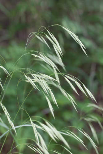 Bromus pubescens (Hairy Brome)