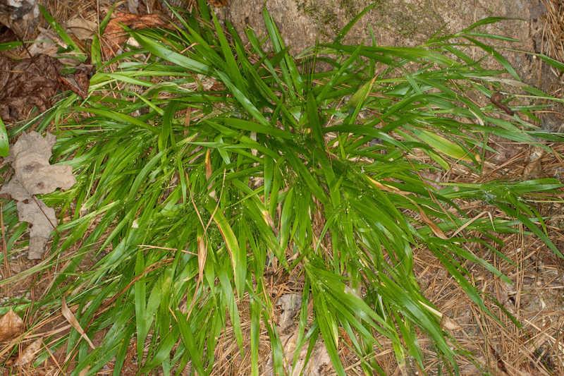 Dichanthelium laxiflorum (Openflower Rosette Grass)