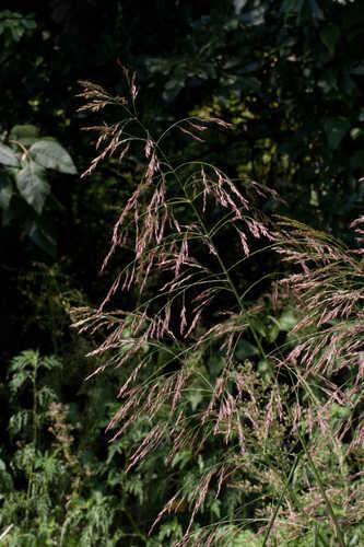 Tridens flavus (Purpletop)