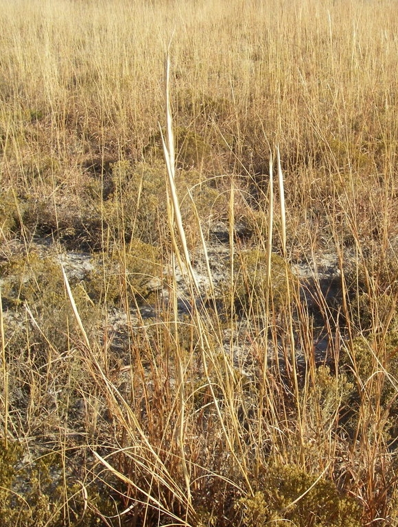 Sporobolus asper var. asper (Dropseed)