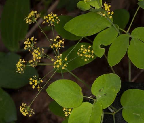 Taenidia integerrima (Yellow Pimpernell)