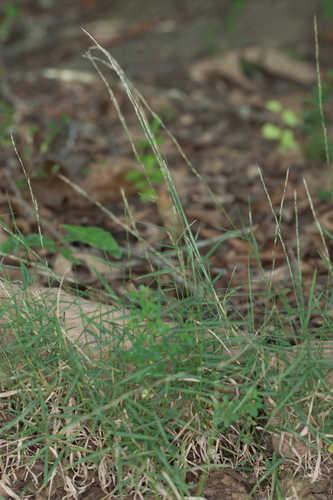 Muhlenbergia schreberi (Nimblewill)
