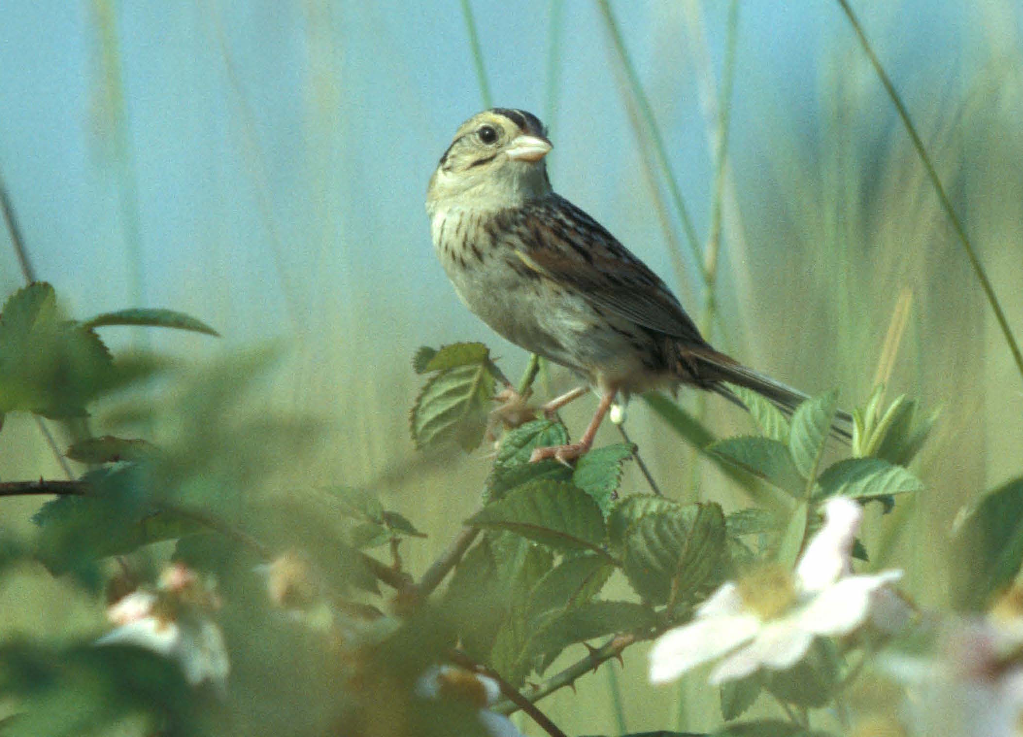 Lesson 3. If we rebuild them, they will come... - Many rare species that are in severe decline throughout their ranges are rebounding in the Chicago area thanks to the increase in high-quality grassland conservation efforts. Let's bring similar efforts to the SGI focal area.