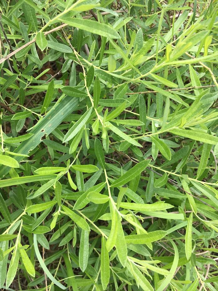 Fig 10b_Salix humilis tristis_Witsell.JPG