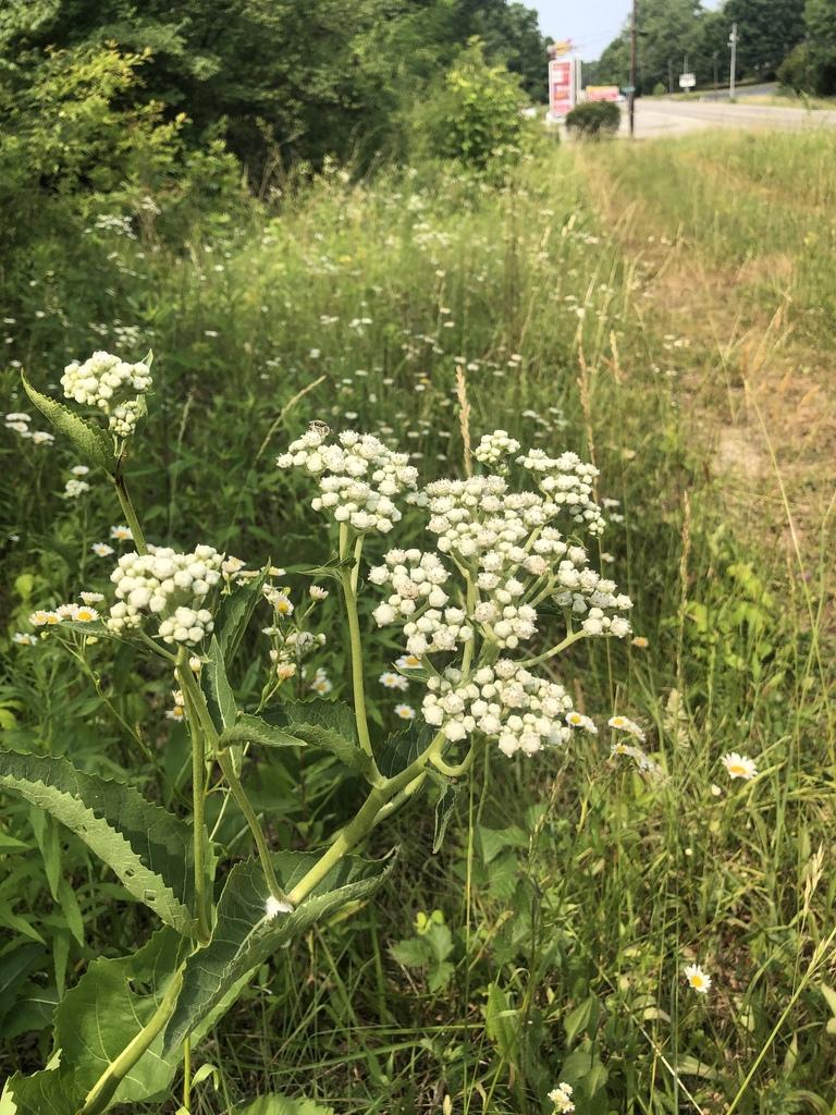 Wild quinine-Meredith Clebsch.jpg
