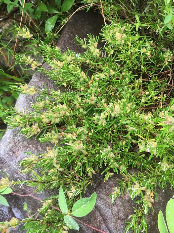FIG 5_Conradina verticillata_1_Witsell.JPG