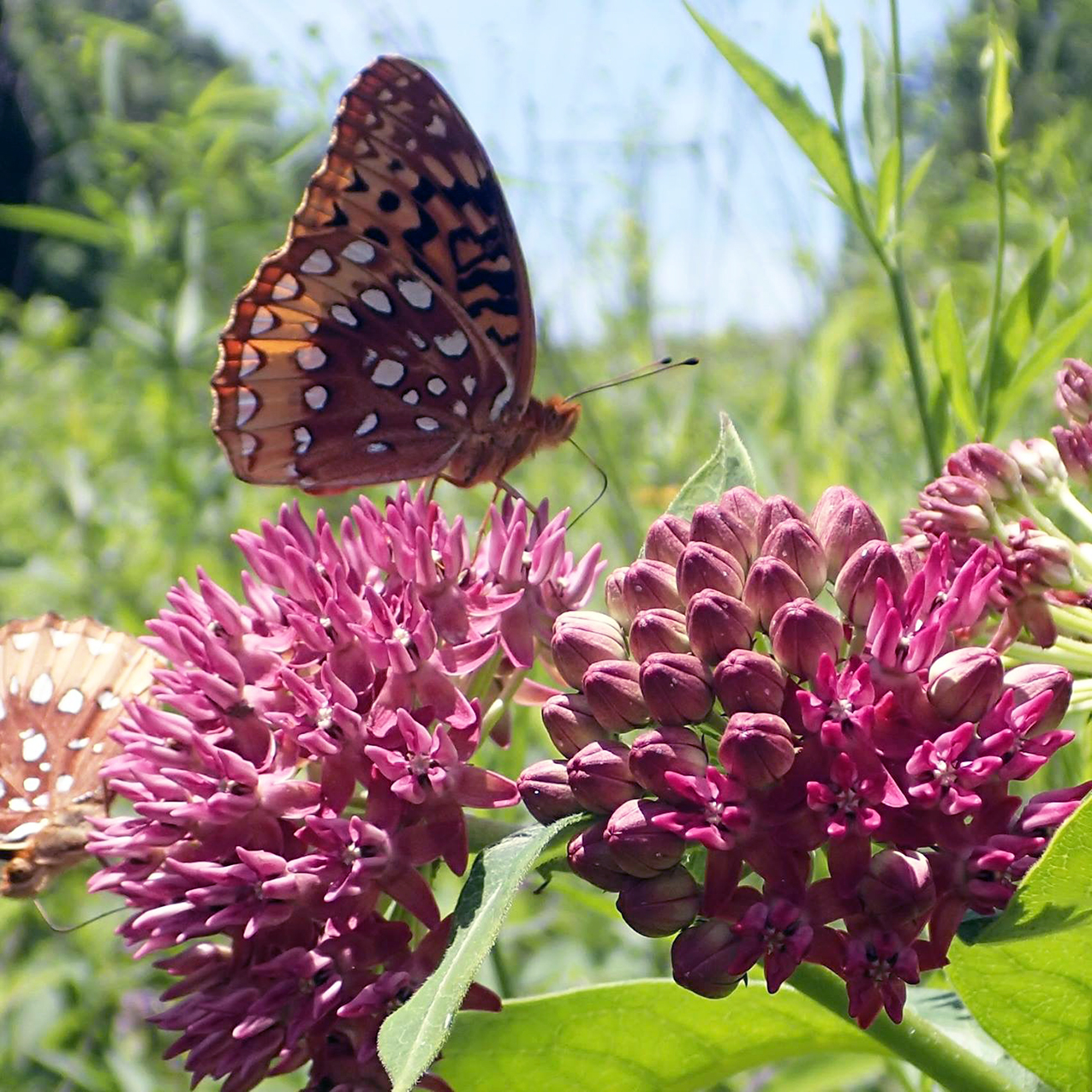 Butterfly on Purple Milkweed, by Adam Dattilo, TVA