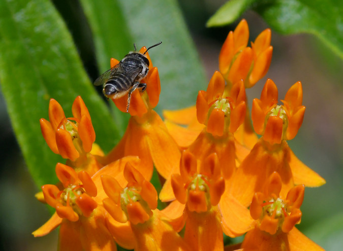 2 CtoP downtown Athens GA Leaf Cutter Bee on Butterfly weed June 15 2019 by Don Hunter.jpg
