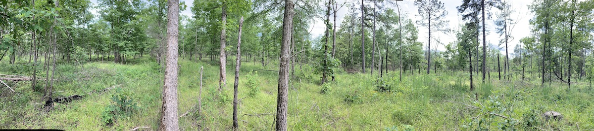 Hardwood/shortleaf pine savanna at Difficult Creek Natural Area Preserve imaged June 3, 2019. Note the thriving grassy understory. New Jersey tea is scattered throughout this area and Mottled Duskywings are consistently found over a large are of this Natural Area Preserve.