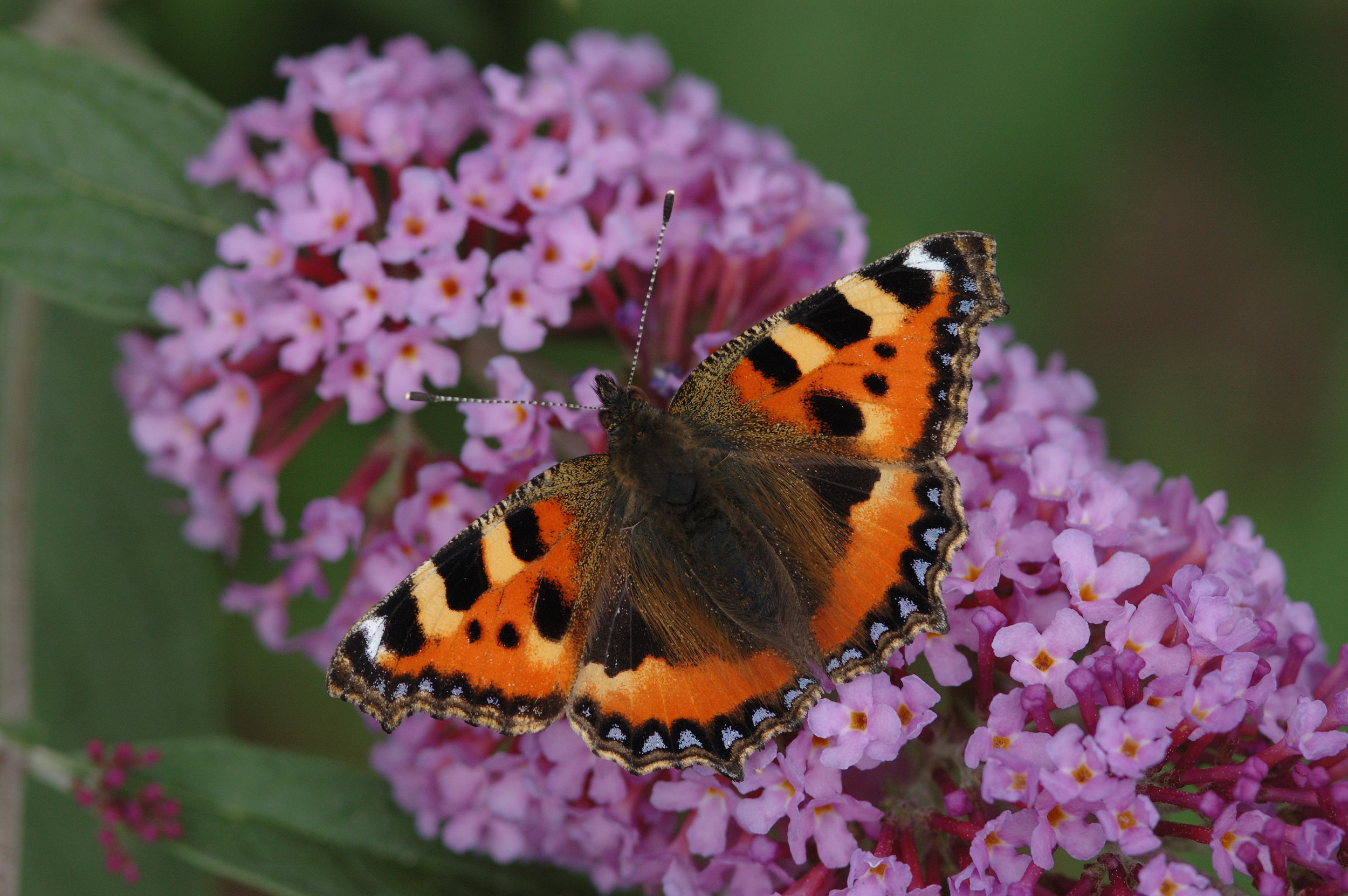 Small Tortoiseshell - Photography by Jim Asher