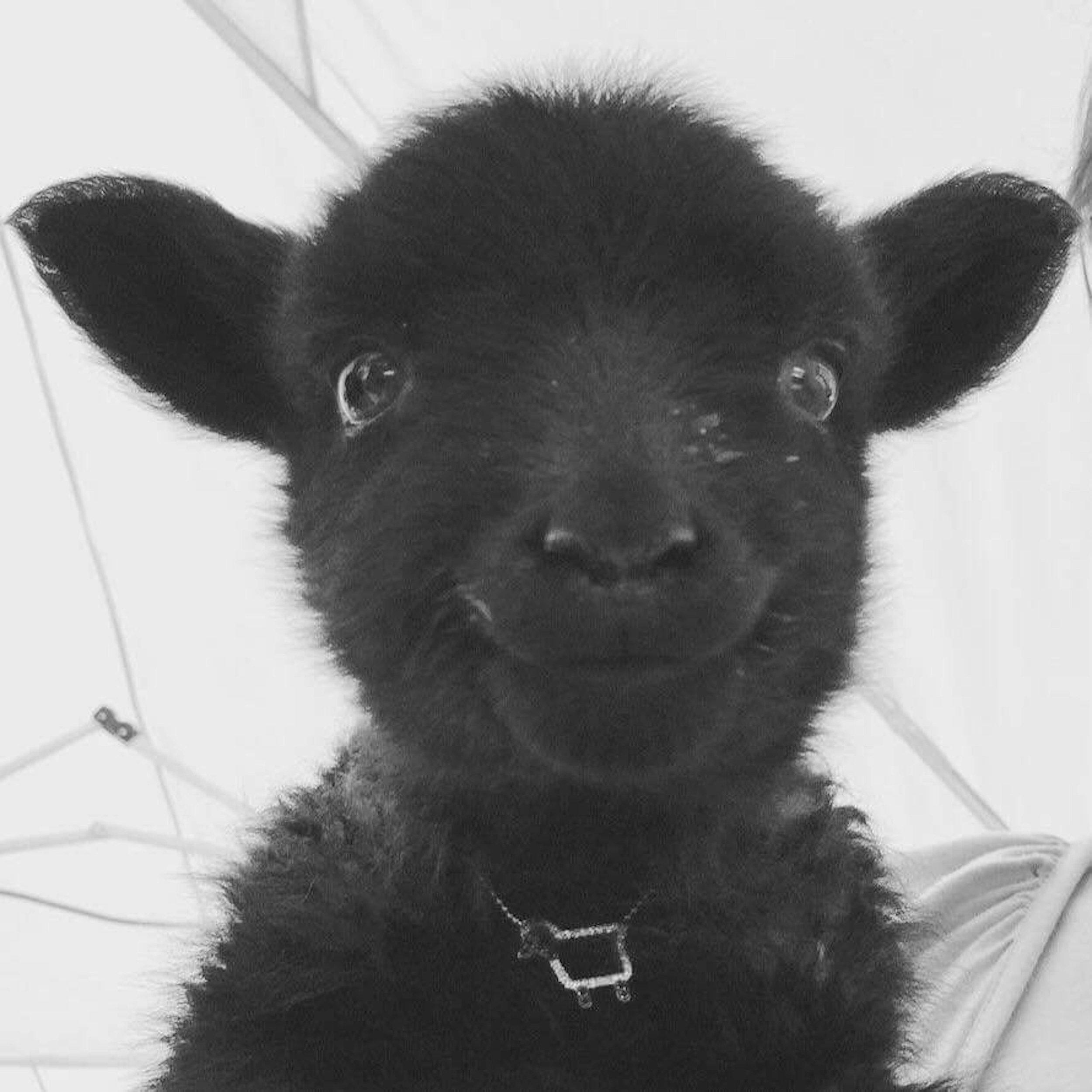 Baby lamb smiles…