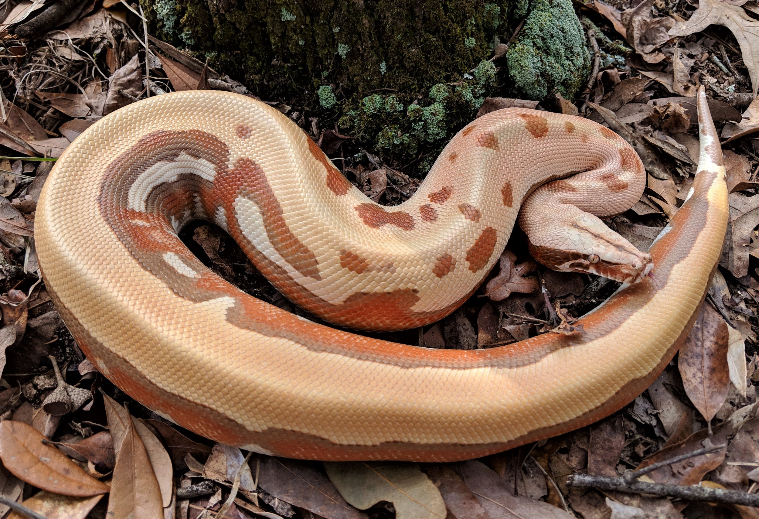 Female T+ Albino VPI Stripe Line Golden Eye